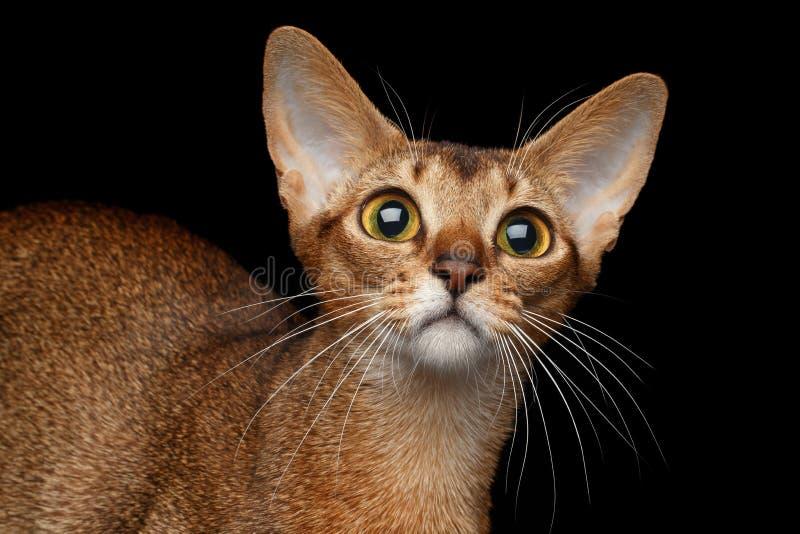 Closeupstående av den roliga Abyssinian katten som isoleras på svart arkivbilder