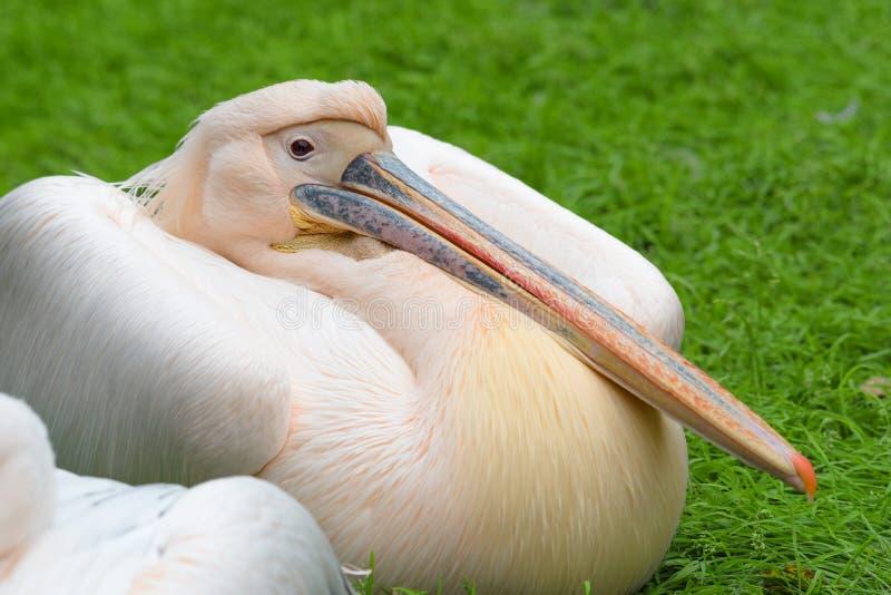 Closeupstående av den stora Pelecanusonocrotalusen för vit pelikan arkivbilder