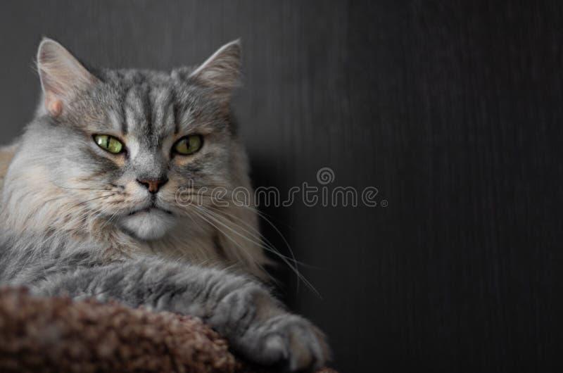 Closeupstående av den vuxna fluffiga katten som ser direkt på dig Grå allvarlig katt royaltyfri foto