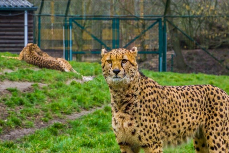 Closeupstående av en gepard, populära zoodjur, sårbar djur specie från Afrika arkivfoto