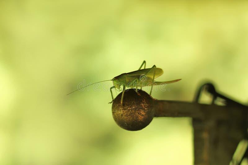 Closeupstående av en grön gräshoppa royaltyfria foton