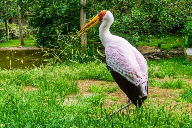 Closeupstående av en gul fakturerad stork som samlar en filial för dess rede, säsongsbetonat fågeluppförande, tropisk fågelspecie arkivbild