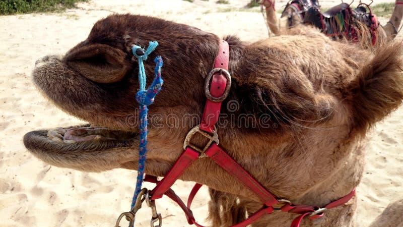 Closeupstående av en kamel arkivbilder