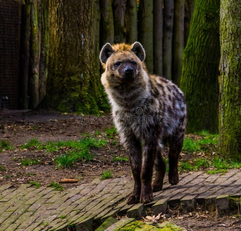 Closeupst?ende av en prickig hyena, l?st d?ggdjur fr?n ?knen av africa royaltyfri bild