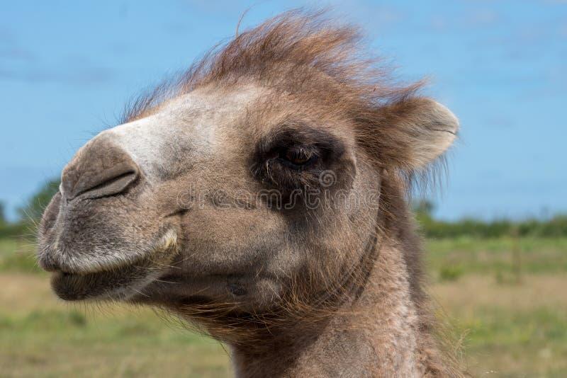 Closeupstående av ett kamelhuvud mot en blå himmel arkivbilder