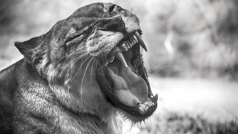Closeupstående av ett kvinnligt afrikanskt lejon royaltyfria foton