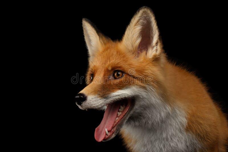 Closeupstående av Smiled den röda räven som isoleras på svart arkivfoton