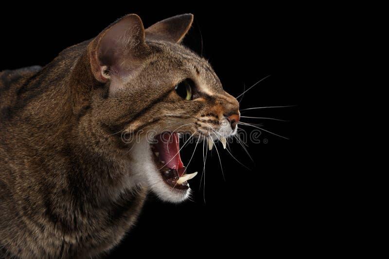 Closeupståenden aggressiva orientaliska Cat Hisses i profil, svärtar isolerat royaltyfri fotografi