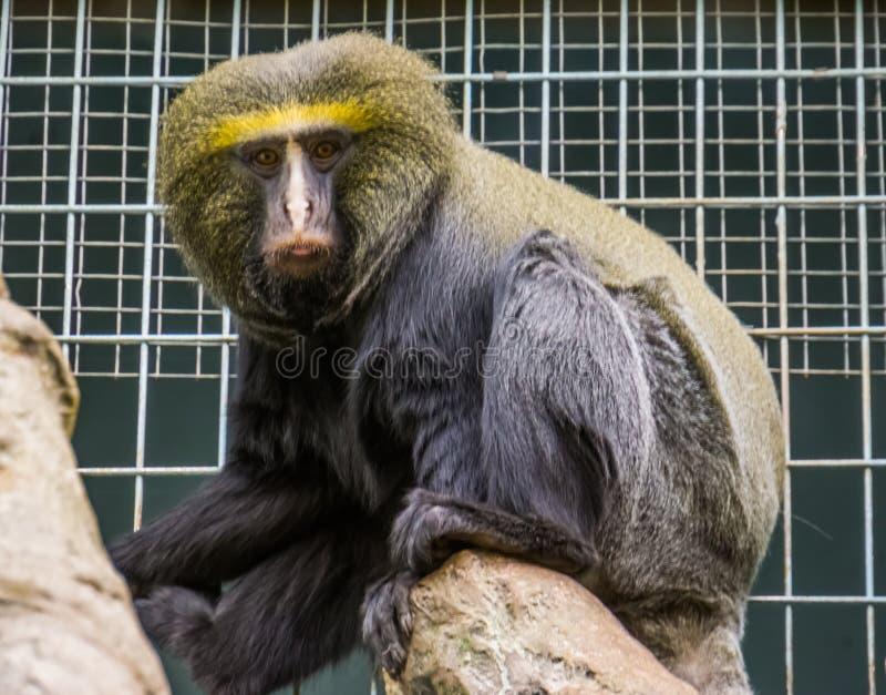 Closeupståenden av en uggla vände mot apan, den sårbara djura specien, den roliga tropiska primatet från Kongofloden, Afrika royaltyfria foton
