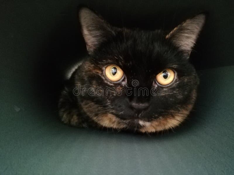 Closeupst?ende av den brittiska katten arkivbilder