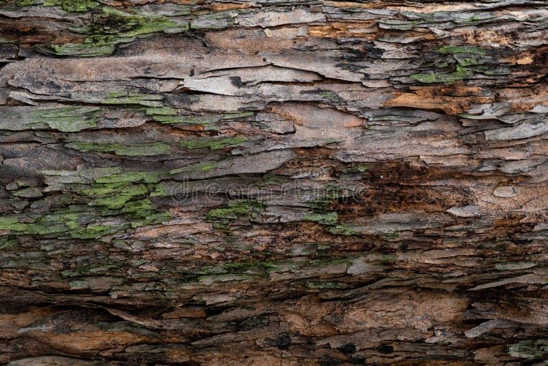 Closeuptextur av trädskället Modell av naturlig bakgrund för trädskäll Grov yttersida av stammen Grön mossa och lav på naturligt royaltyfria bilder