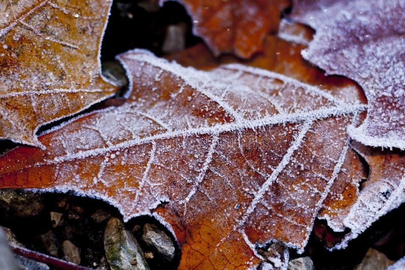 Closeuse de feuilles recouvertes de gel d'orange image stock