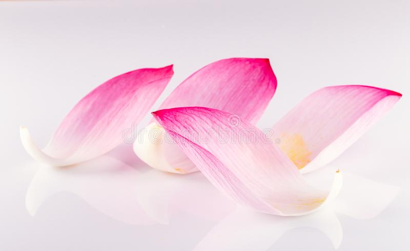 Closeuse sur lotus petal, Shallow Dof photos libres de droits