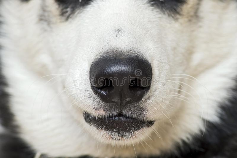 Closing up white dog`s nose and mouth. Close up shot of dog nose royalty free stock photography
