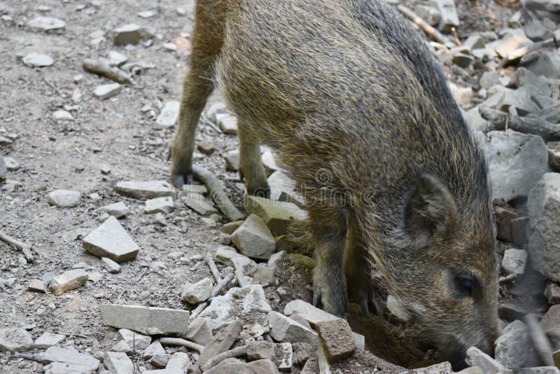 Closuep brown dziki knur w parku w Niemcy zdjęcie stock