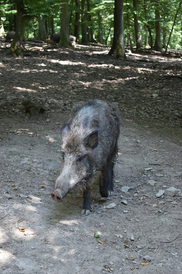 Closuep brown dziki knur w parku w Niemcy zdjęcia royalty free