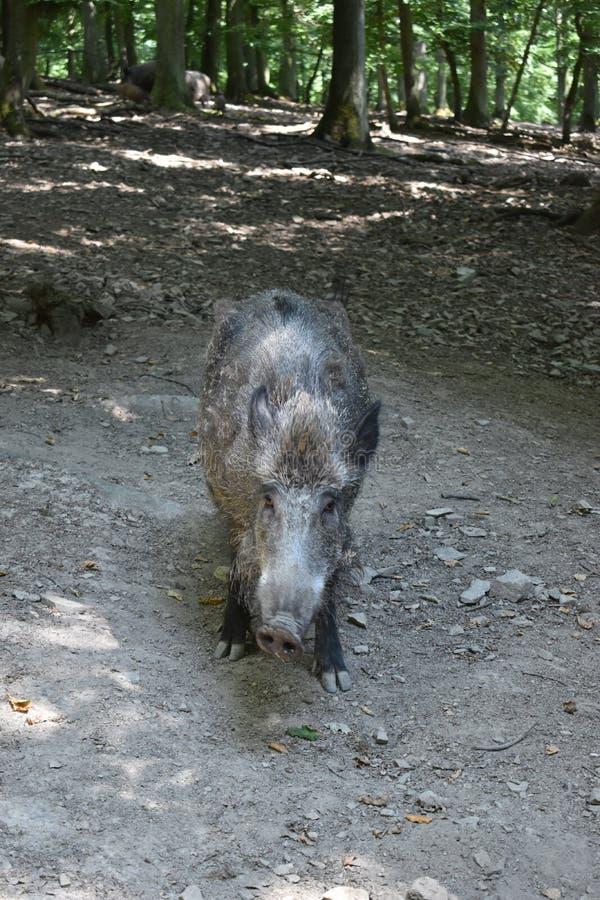 Closuep brown dziki knur w parku w Niemcy zdjęcia stock