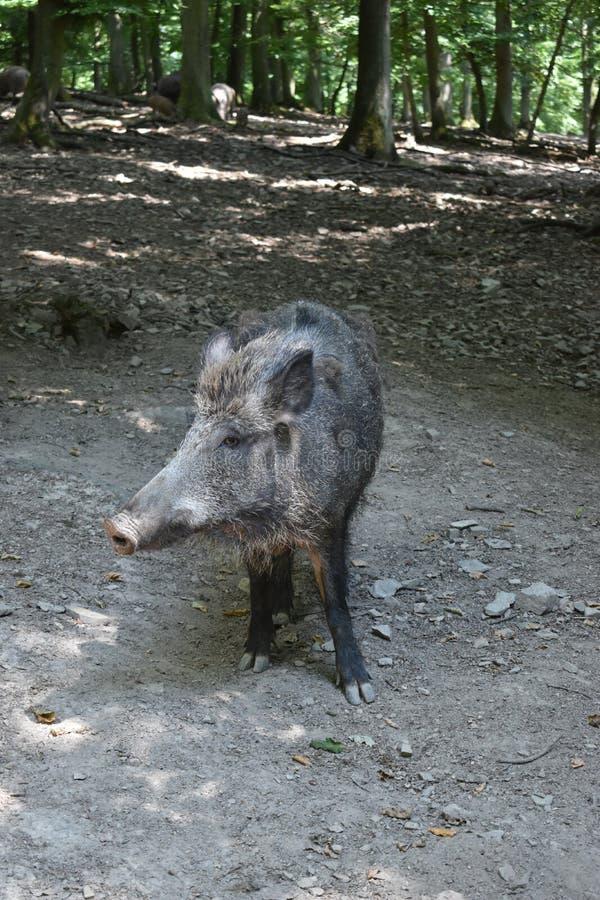 Closuep brown dziki knur w parku w Niemcy fotografia stock