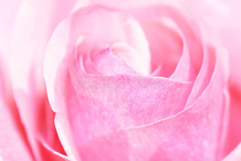 closup粉红色上升了 库存照片
