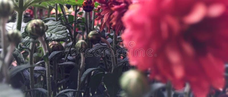 Closup biedronki kwiaty i ziemia obraz stock
