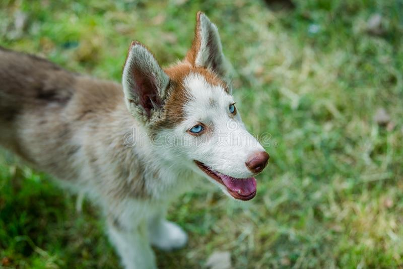 Closup of blue eyed Husky Puppy looking up. Closeup of cute blue eyed Siberian husky puppy looking above royalty free stock image