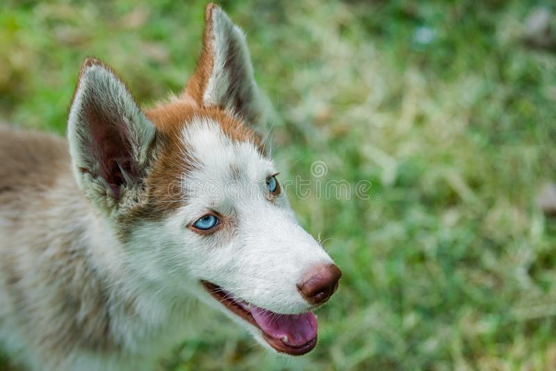 Closup of blue eyed Husky Puppy. Closeup of cute blue eyed Siberian husky puppy looking above stock images