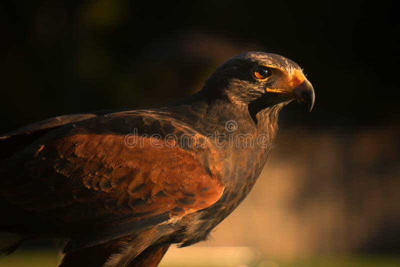 Closup del halcón en la puesta del sol imágenes de archivo libres de regalías