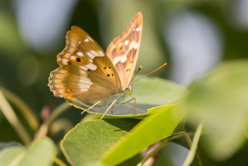 Closup di una farfalla su una foglia immagini stock