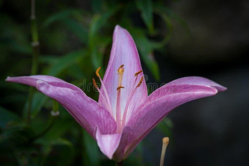 Closup do ful da maravilha de Lilly Flower roxa fotos de stock