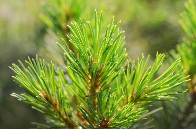 Bright green fluffy pine branch with tiny sparkling net on it royalty free stock photography