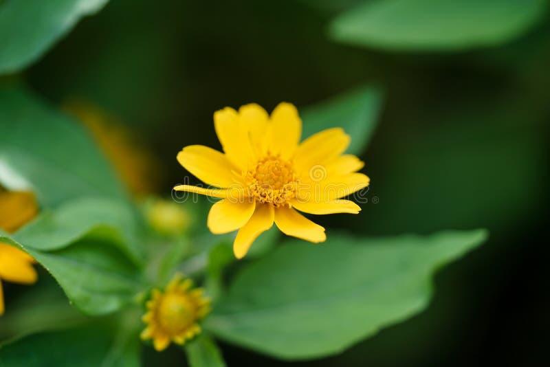 Closure Little Yellow Star flower Melampodium divaricatum fotografia stock