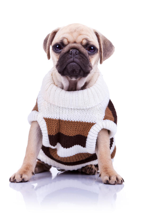 Clothed pug puppy dog sitting stock photos