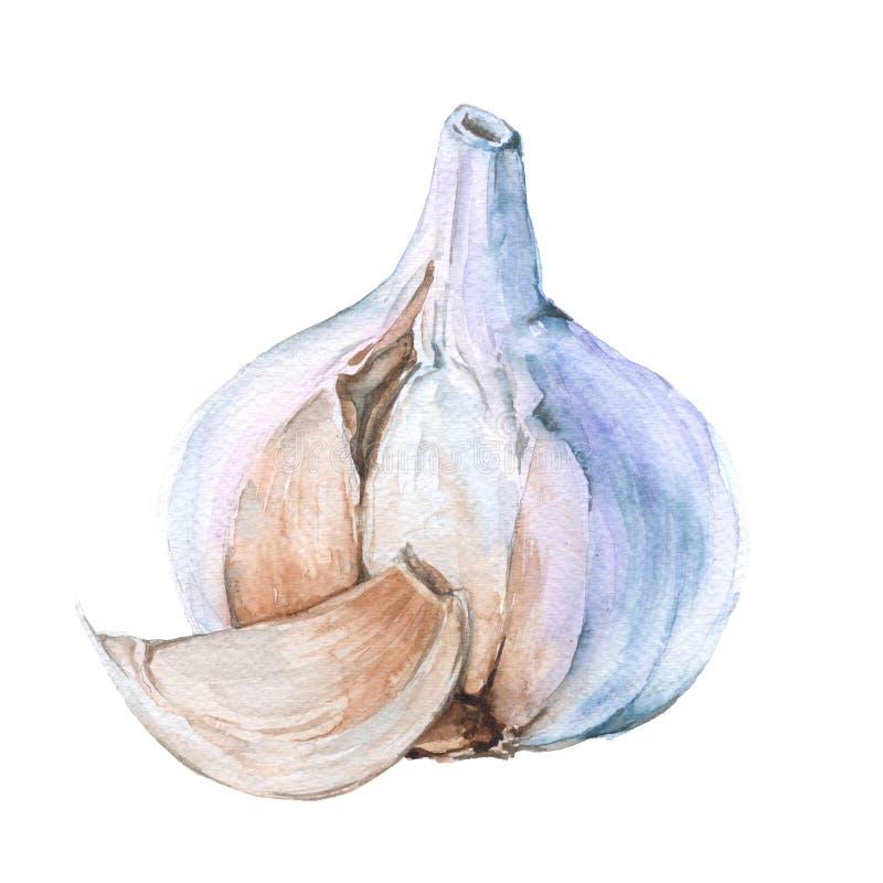 Download Clou De Girofle D'ail D'isolement Sur Un Fond Blanc Illustration D'aquarelle Illustration Stock - Illustration du moisson, ingrédient: 77159817