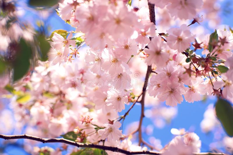A cloud of cherry blossoms. Background royalty free stock photos