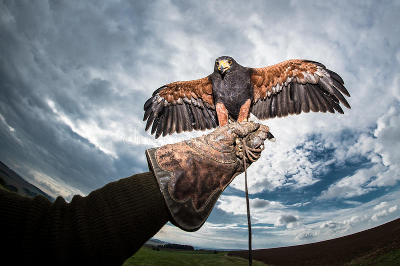 Cloud and dark sky with a bird of prey falconer glove. Aggressive bird Harris's Hawk sitting on the glove falconer with wings spread stock photos