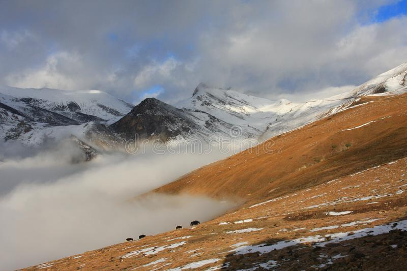 Snow mountains and Yaks in Tibet royalty free stock photo