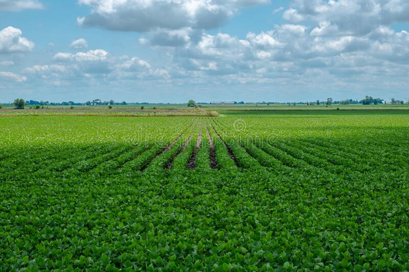 Cloud Shadow Passing Over Summer Soybean Field stock image