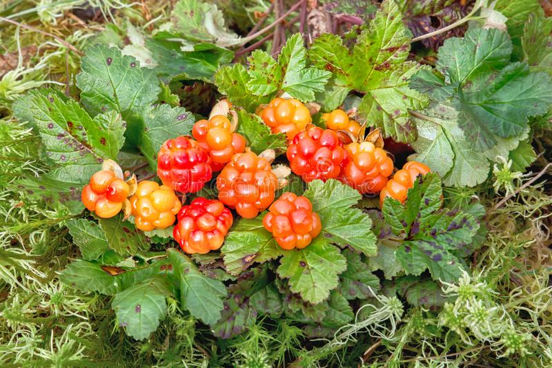 Cloudberries in the forest among leaves and moss. North Karelia. Russia stock photo
