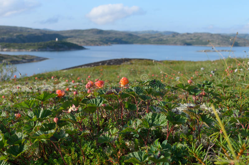 Cloudberries in the tundra ,hills and the sea. Horizontal royalty free stock images