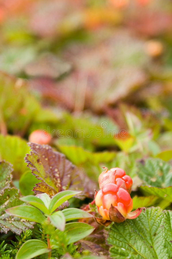 Cloudberry royalty free stock photo
