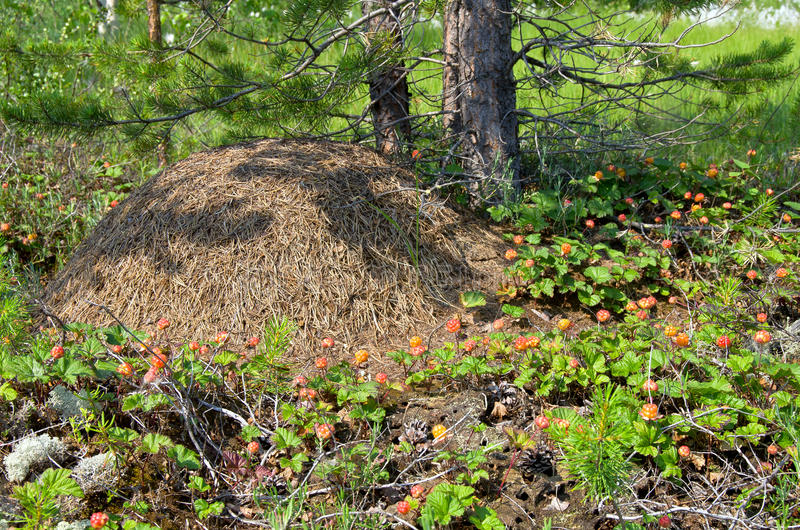 Cloudberry around anthill royalty free stock photography