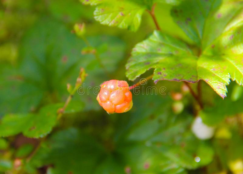 Cloudberry. Rubus chamaemorus. Cloudberry is growing in the swamp. Harvest in the forest stock image