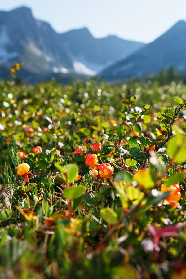 Cloudberry grows in the forest. North Karelia. Wild edible, healthy berry. Growing high in the mountains Russia stock photos
