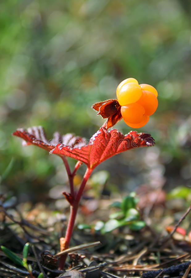 Cloudberry, Rubus chamaemorus. Close-up view of ripe cloudberry royalty free stock image