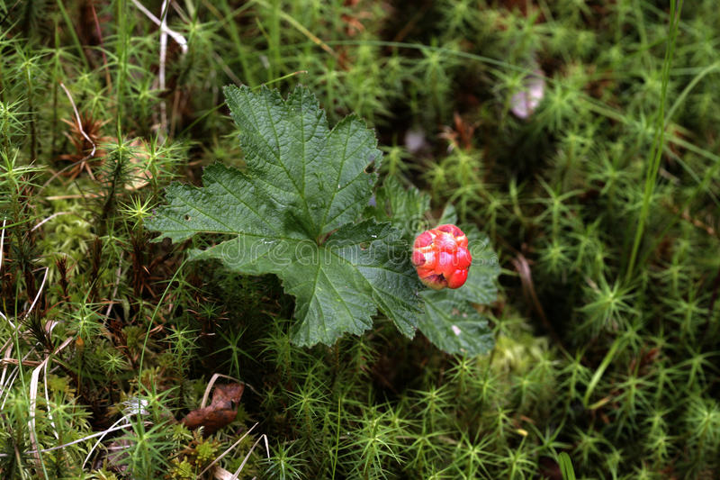 Cloudberry, Rubus chamaemorus. Berry and leaf royalty free stock image