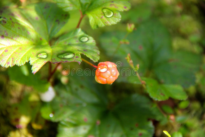 Cloudberry. Rubus chamaemorus. Cloudberry is growing in the swamp. Harvest in the forest stock images