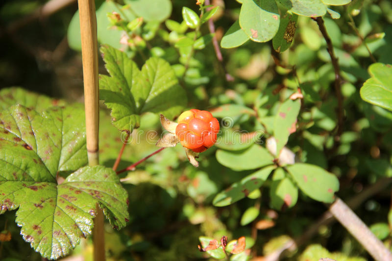 Cloudberry. Rubus chamaemorus. Cloudberry is growing in the swamp. Harvest in the forest royalty free stock photography