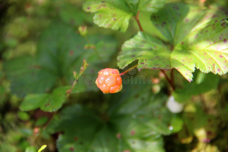 Cloudberry. Rubus chamaemorus. Cloudberry is growing in the swamp. Harvest in the forest royalty free stock images