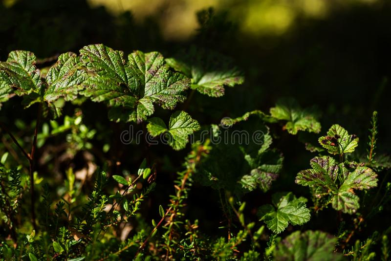 Cloudberry leaves in a marsh royalty free stock image