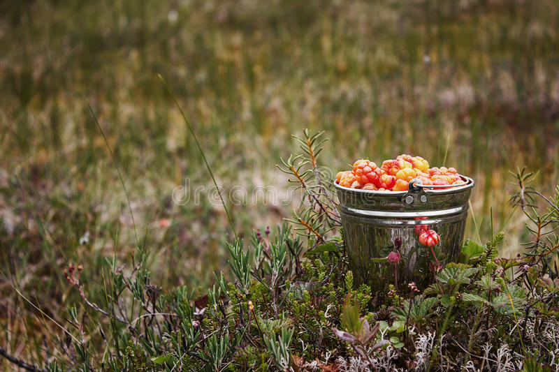 Cloudberry on a swamp royalty free stock photography